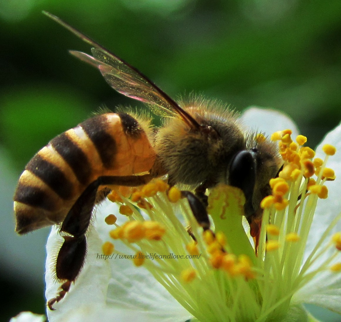 bees in the philippines