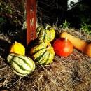 Gebrannte Kürbiskerne Herbstdeko Kürbisse