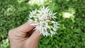 Bärlauchblüten pflücken