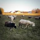 Nachhaltige Winterjacke aus Wolle Schafe