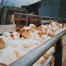 Nachhaltige Winterjacke aus Wolle geschorene Schafe