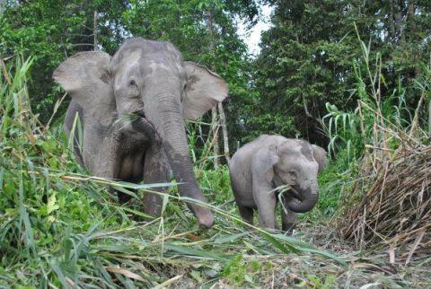 wild pygmy elephants borneo