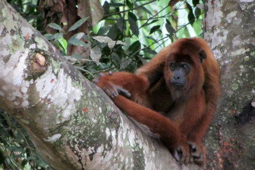 Howler Monkey Bolivia Volunteer