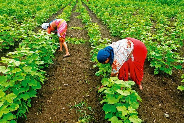 In Maharashtra, the second largest cotton growing state in the country after Gujarat, the state government plans to review whether agricultural technologies such as Bt are suitable in rain-fed or non-irrigated regions such as Vidarbha. Photo: Abhijit Bhatlekar/Mint