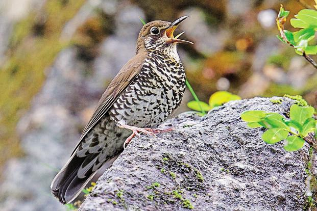 The Himalayan Forest Thrush is only the fourth new bird species to be described in India since Independence. Photo: Craig Brelsford