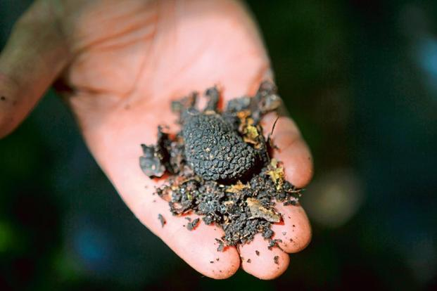 A handful of freshly foraged black truffle. Photos: Rebecca Marshall