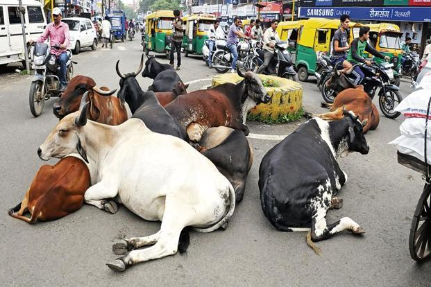 Shoba Narayan chronicles her adventures with the bovine kind in India in her new book. Photo: Hindustan Times