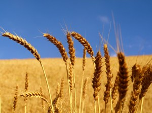 Image of Wheat Field
