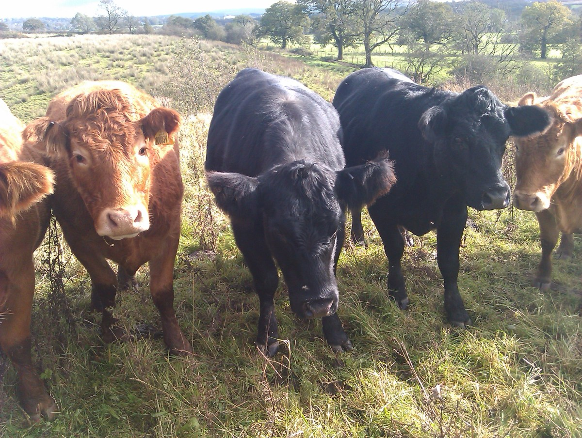 Grass Fed Aberdeen Angus Cattle