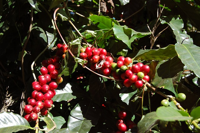 Coffee Berries on a Coffee Tree