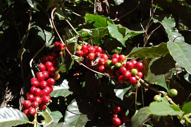 Coffee Berries on a Coffee Tree