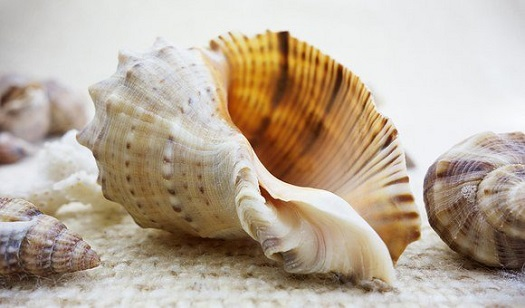 conch for Puja