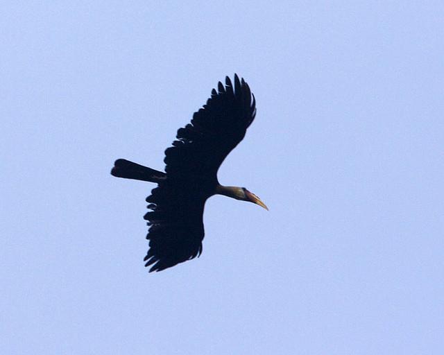 Hornbill bird, in flight, in Malasia