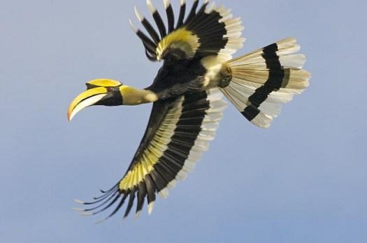 A Hornbill bird in flight in Malasia
