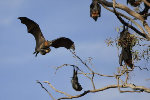 Flying Fox fruit bats in a tree - with one flying