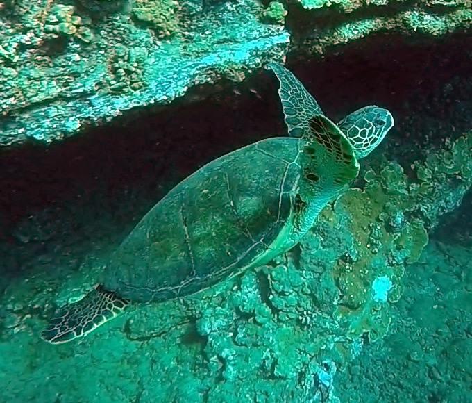 Maui Scuba Dive Turtle - LiveRecklessly.com
