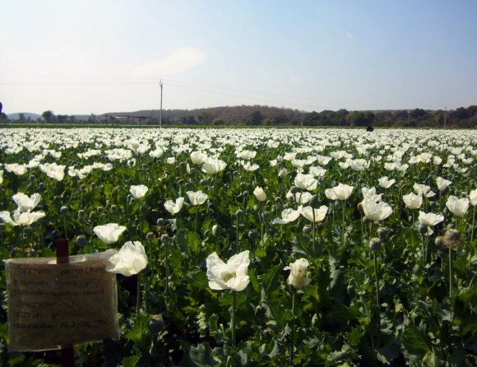 India in Photos: Opium poppy fields in Rajasthan - LiveRecklessly