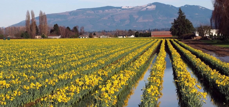 La Conner Daffodil Festival - LiveRecklessly