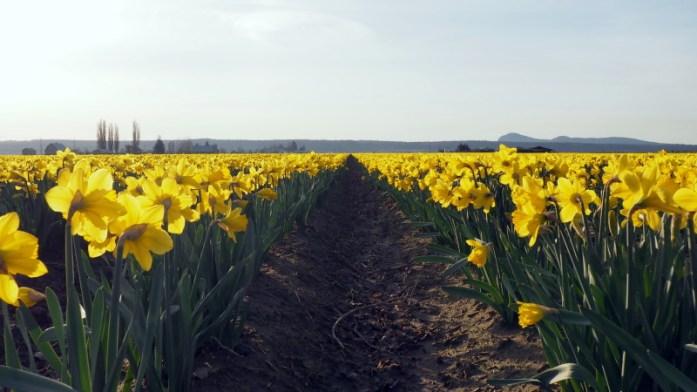 Expat Escapades February 2016 La Conner Daffodil Festival - LiveRecklessly.com
