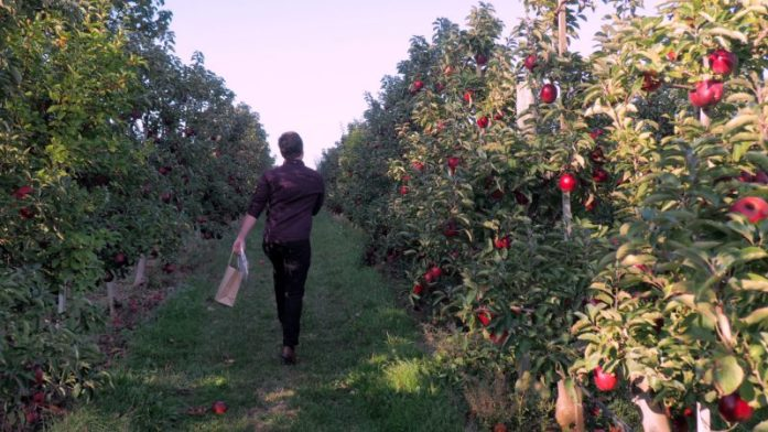 Apple picking at BelleWood Acres, Washington - LiveRecklessly.com
