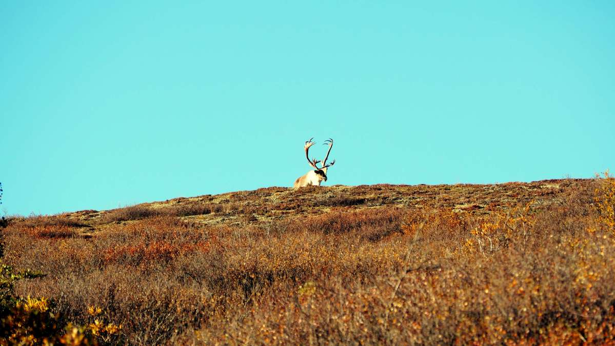 Alaska in Photos - Caribou - Live Recklessly