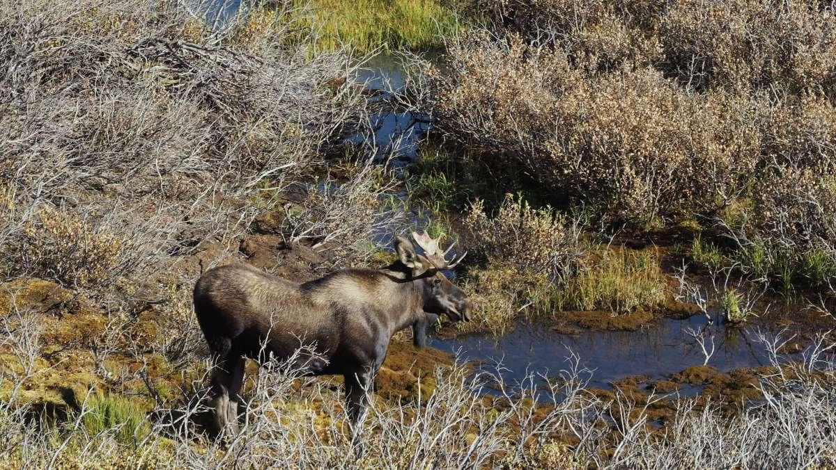 Alaska in Photos - Moose - Live Recklessly