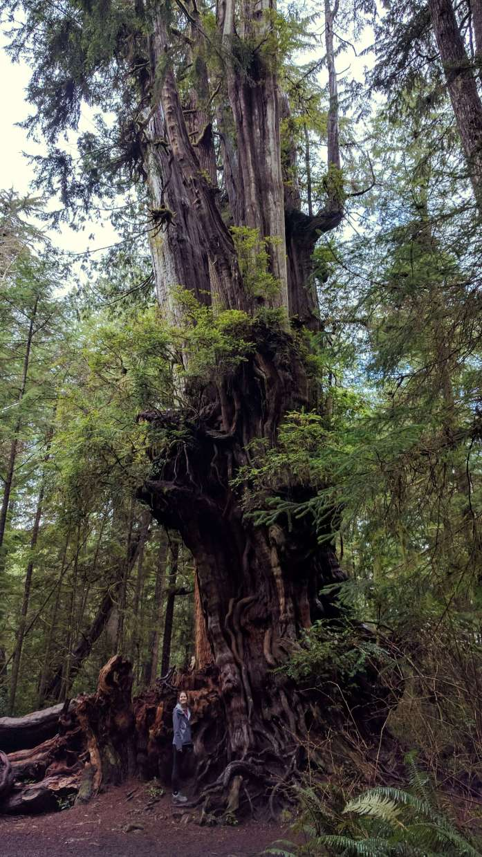 Big Cedar Tree - An Olympic National Park road trip - Live Recklessly