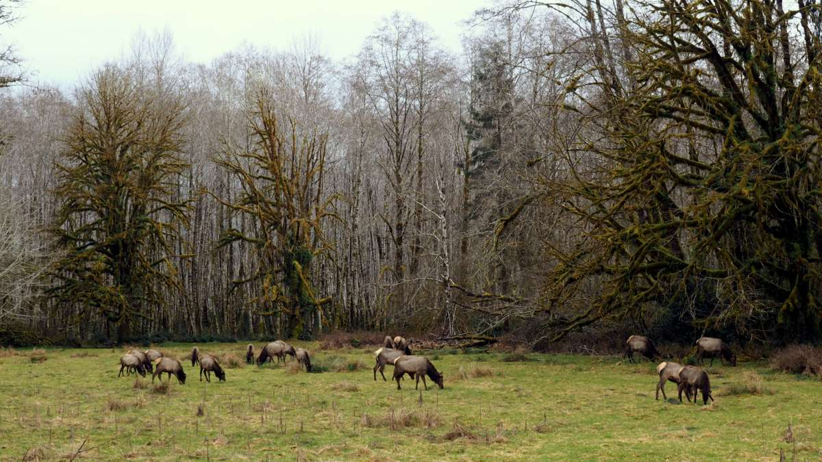 ELK on An Olympic National Park road trip - Live Recklessly