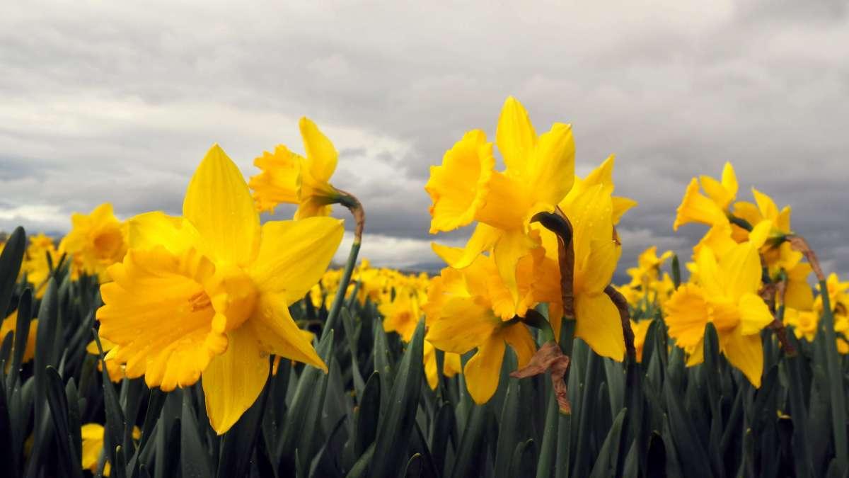 Expat Escapades March 2017 Daffodil Festival la Conner