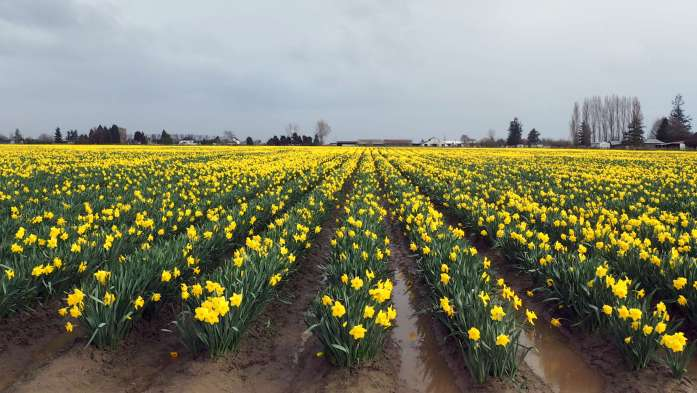 March Expat Escapades fields Daffodil Festival la Conner