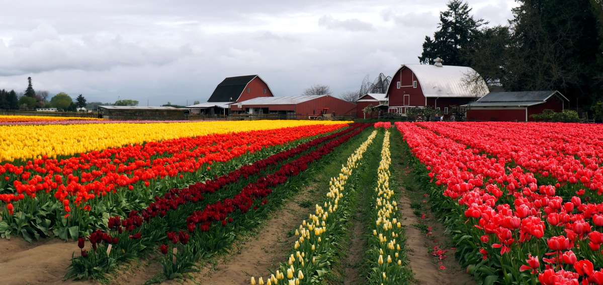 Tulip Town Skagit Valley - Live Recklessly travel blog