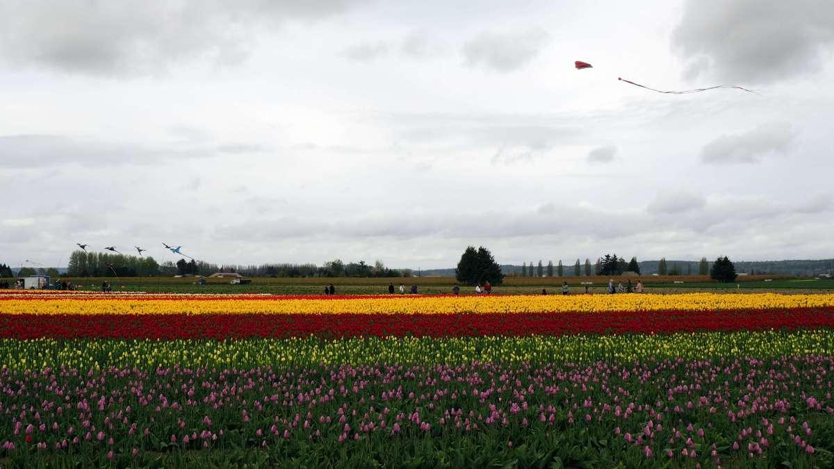 Kites over tulip town skagit valley