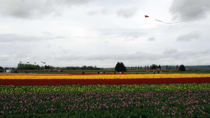 Kites over tulip town skagit valley