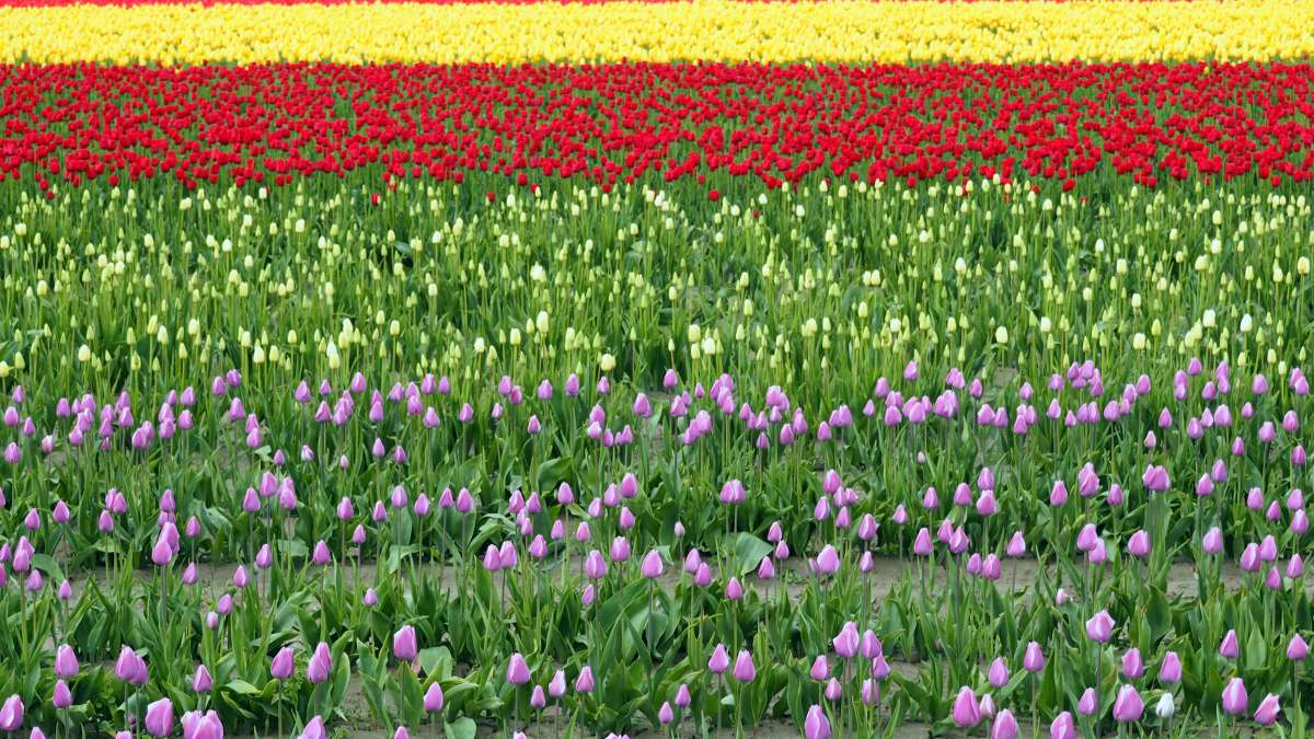 Rows of colours in Tulip Town Skagit Valley