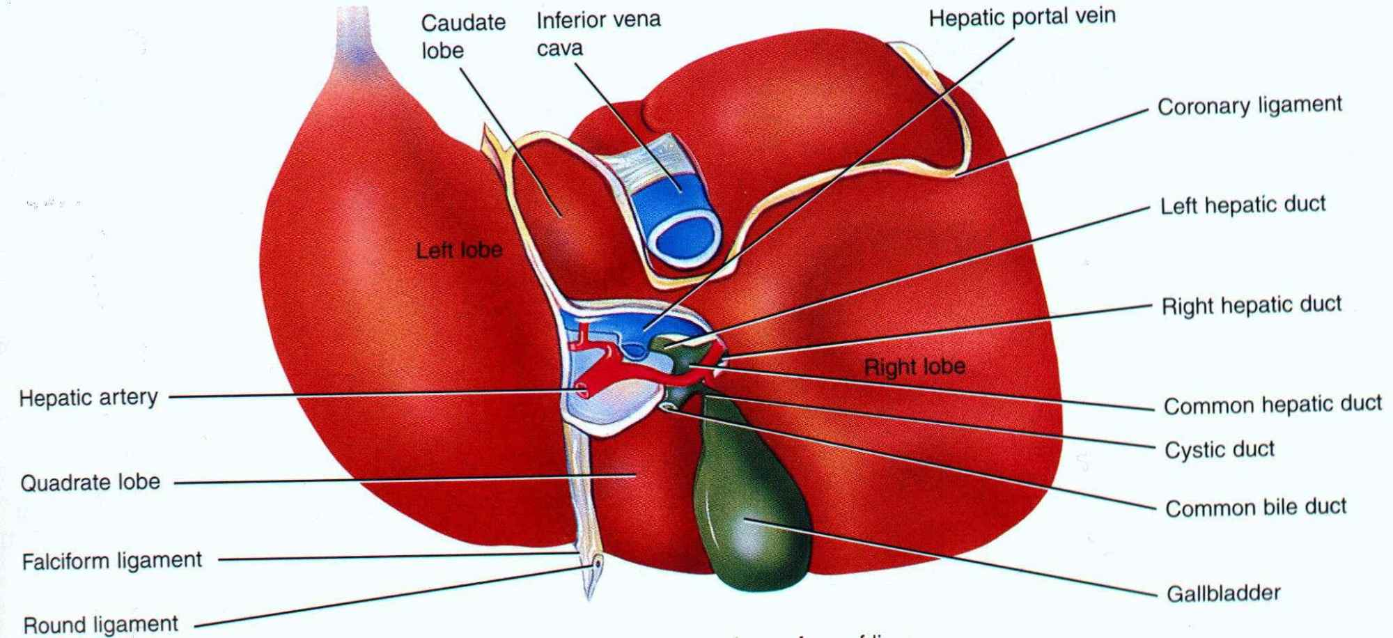 hight resolution of liver structure diagram wpe2 jpg 204017 bytes