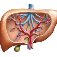 Hepatic Portal Vein Diagram Directv Genie System Do You Have High Liver Enzymes Or A Fatty
