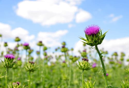 Image result for milk thistle