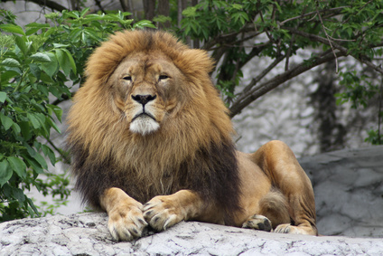 lion resting in a zoo