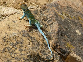 Impressive Collared Lizard