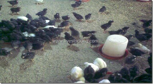 chicks feeding on feed trays and water
