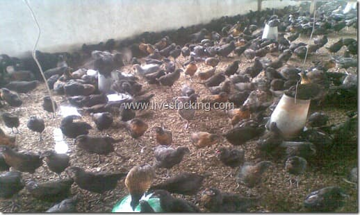 pullets in brooder house