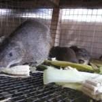 cane rat farming in west africa