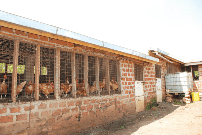 Guide how to start local chicken farming for eggs chicks for Building a dog kennel business