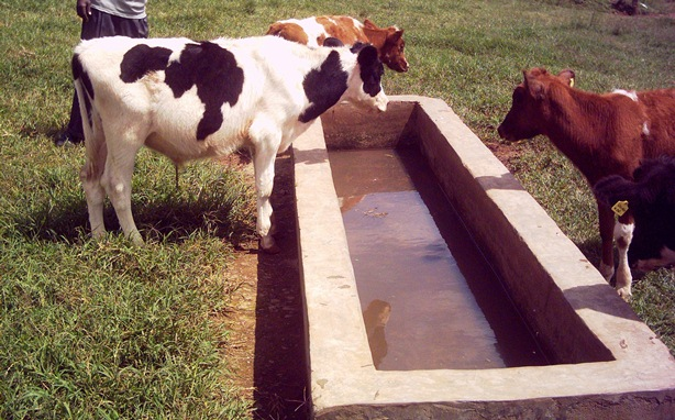 calves drinking