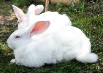 New Zealand White Rabbit
