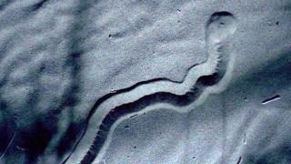 Ένας τυφλός αλλά θανατηφόρος θηρευτής της ερήμου (Video)