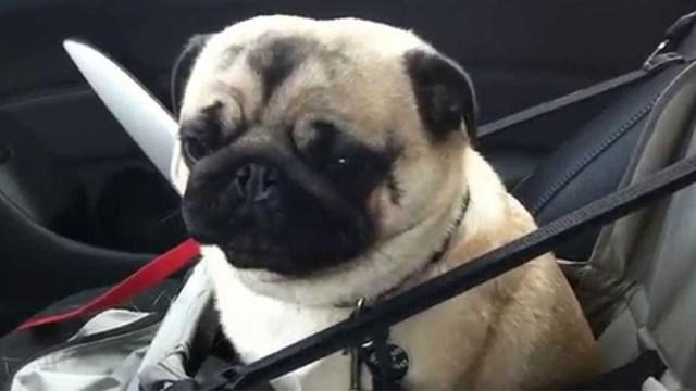 Η απίστευτη αντίδραση ενός σκύλου που ανακάλυψε πως πηγαίνει σε κατάστημα κατοικιδίων