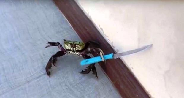 Αυτό το γενναίο καβούρι χρησιμοποιεί ένα μαχαίρι για να προστατέψει τον εαυτό του από τον μάγειρα.