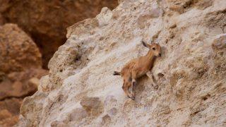 Ένα μωρό αγριοκάτσικο έκανε άλμα 10 μέτρων για γλυτώσει από μια αλεπού που το παραμόνευε.