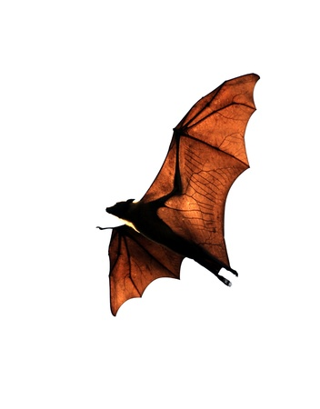 flying fox bat tracked with gps